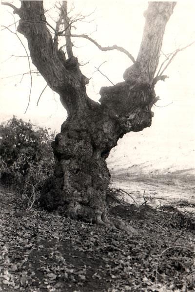 Իգնատը սիրում էր այս ծառը և կոչում «Հերոսիմա»